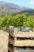 Wooden crates fool of harvested grapes — Stock Photo