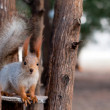 Squirrel on a tree — Stock Photo #24594747