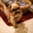 Yorkshire terrier — Photo