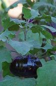 Egg plant — Stock Photo