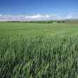 Green wheat landscape — Stock Photo