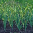 Foto Stock: Green onion field