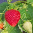 Strawberry in greenhouse — Stock Photo #28419075