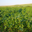 Soya field — Stock Photo #32347321
