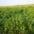 Stock Photo: Soya field