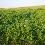 Soya field — Stock Photo