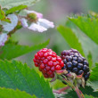 Blackberry flower and fruit — Stock Photo