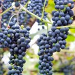 Grapes — Stock Photo #38604351