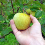Hand picking apple — Stock Photo
