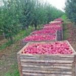 Apple orchard harvest — Stock Photo