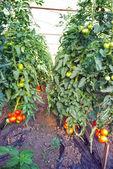 Pomidora — Zdjęcie stockowe