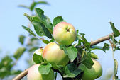 Ripened apples — Stock Photo