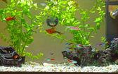 Domácí akvárium — Stock fotografie