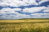 Wheat field — Stock Photo