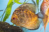 Orange fish in aquarium — Stock Photo