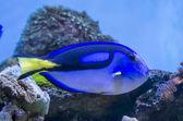 Blue Tang fish — Stock Photo