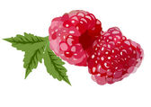 Realistic red raspberries with leaves isolated on white backgrou — Stock Vector
