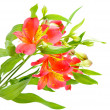 Yellow red Alstroemeria Lily Spray isolated on white, green stem — Stock Photo