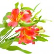 Yellow red Alstroemeria Lily Spray isolated on white, green stem — Stock Photo #22460439