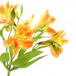 Yellow Orange Alstroemeria Lily Spray isolated on white, green s — Stock Photo #22460443