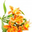 Yellow Orange Alstroemeria Lily Spray isolated on white, green s — Stock Photo #22460447