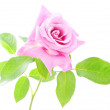 Beautiful pink rose with green leaves isolated on white backgrou — Stock Photo