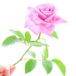 Beautiful pink rose with green leaves in human hand isolated on — Stock Photo #22460749