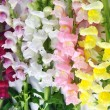 Variegated antirrhinum (snapdragon) flower background — Stock Photo