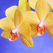 Phalenopsis Brother Girl beautiful yellow orchid branch against — Stock Photo