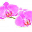 Three rosy beautiful orchids branch isolated on white background — Stock Photo #22462105