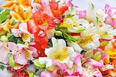 Lily alstroemeria variegated spray isolado no branco — Foto Stock