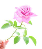 Beautiful pink rose with green leaves in human hand isolated on — Stock Photo
