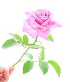 красивая розовая роза с зеленым листья в руки человека, изолированные на — Стоковое фото