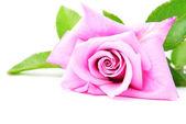 красивая розовая роза с зелеными листьями, изолированные на белом му — Стоковое фото