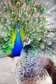 Bright peacock cock with the opened train and the peacock hen portrait — Stock Photo