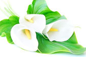 Three white Calla lilies bouquet with leaf isolated on a white b — Stock Photo