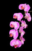 Rosy beautiful orchid branch isolated on black background — Stock Photo