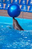 Golfinho em uma piscina de dolphinarium com a grande bola azul — Foto Stock