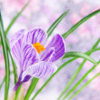 Beautiful crocus flower with leaves against meadow — Stock Photo #24543937