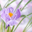 Beautiful crocus flower with leaves against meadow — Stock Photo #24544255