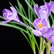 Stock Photo: Spring crocus flowers isolated on black background