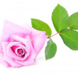Rose with green leaves and water drops — Stock Photo