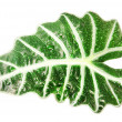 Green leaf Alocasia (Schott) isolated on white — Stock Photo