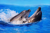 Two dolphins swim in pool water — Stock Photo