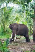 Elephant portrait with large tusks in jungle — Stock Photo