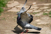 Domestic pigeon — Stock Photo