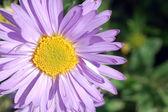 Light purple flower — Stock Photo