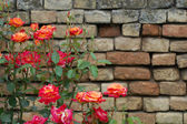 Roses with brick wall background — Stock Photo