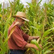 On the field of maize — Stock Photo