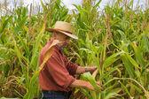 Auf dem Gebiet der Mais — Stockfoto